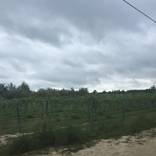 This was the only portion of the run near the vineyards - right at the very beginning and very end of the course.